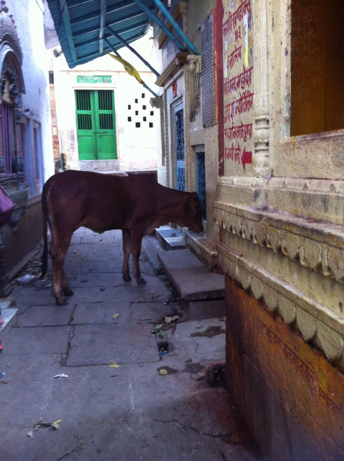 Famous Alleyways of Varanasi City and the Holy Cow!