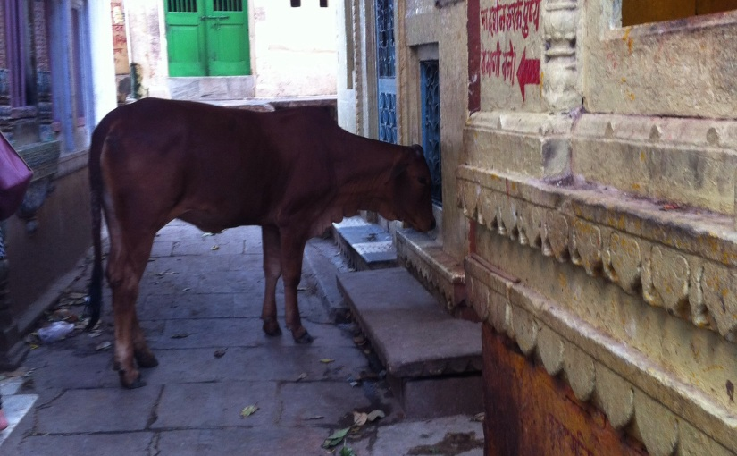 Famous Alleyways of Varanasi City and the HolyCow!